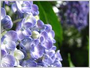 梅小路公園の紫陽花