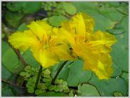 絶滅種の花アサザ
