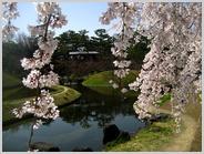 梅小路公園朱雀の庭の紅しだれ桜満開