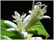 白花ホトトギス