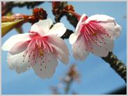 京都水族館入口の寒桜
