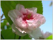 梅小路の兼六園菊桜2