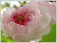 梅小路の兼六園菊桜