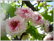 梅小路の兼六園菊桜3