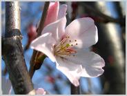 梅小路公園の<小彼岸桜>