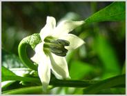 万願寺とうもろこしの花