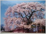 20年前の円山公園の枝垂れ桜