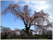 今の円山公園の枝垂れ桜