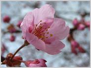 梅小路公園の大山桜