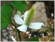 西八条第跡に咲く花
