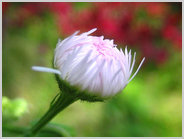 朱雀の庭の蕾
