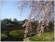 梅小路公園朱雀の庭の桜
