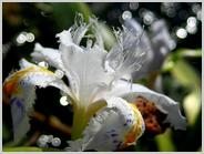 朱雀の庭のシャガ