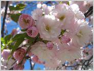 梅小路公園の桜、松月