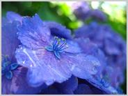 天龍寺の山紫陽花