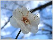 梅小路公園の白梅