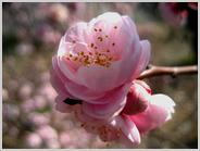 梅小路公園のピンクの梅