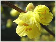 ヒョウガミズキの花