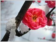 梅小路公園の雪の朝の梅林