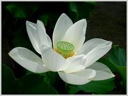朱雀の庭の大賀ハス