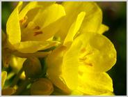 梅小路公園の菜の花
