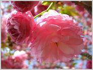 梅小路公園の紅華