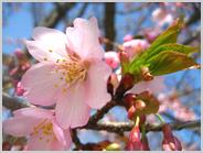 梅小路の寒桜